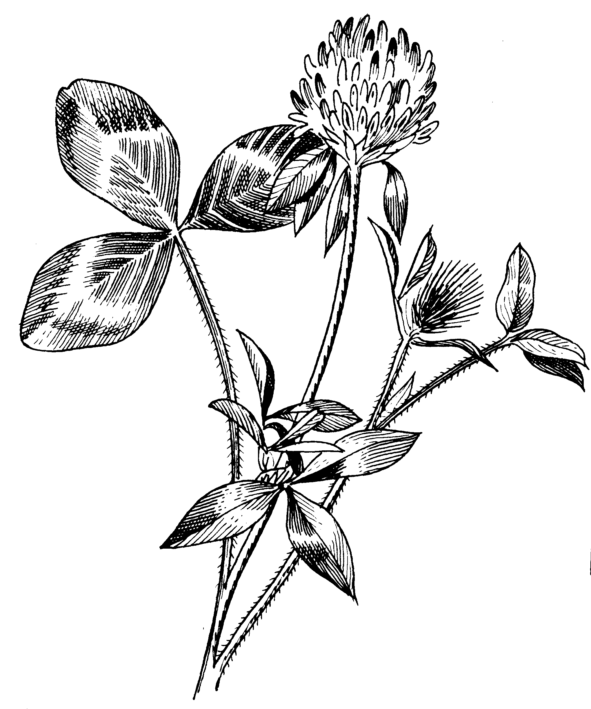 White Clover Drawing Red_clover_(psf).png