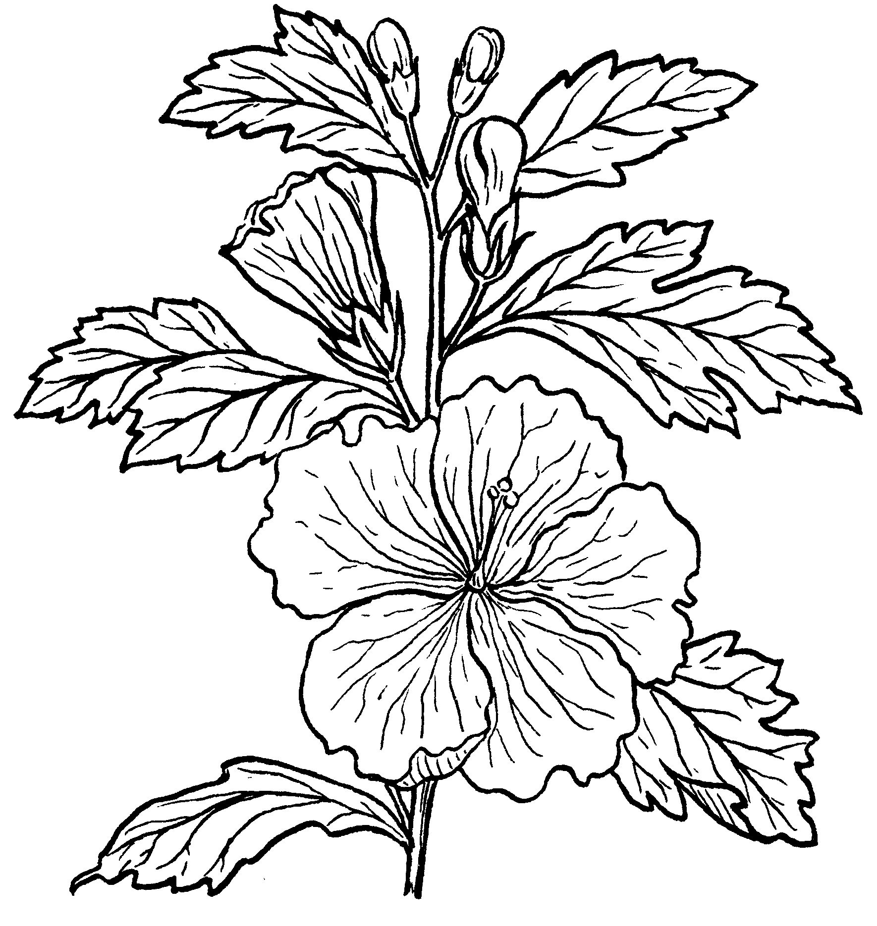 Flower Tree Line Drawing : File hibiscus psf the work of god s children