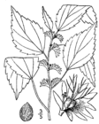 Acalypha virginica drawing.png