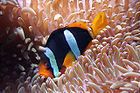Clown Fish 001.jpg