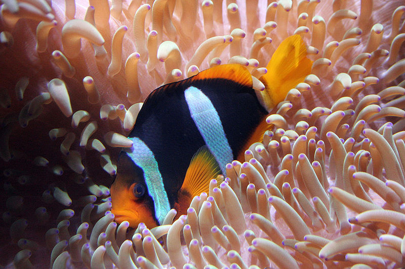 File clown fish the work of god 39 s children for Clown fish size