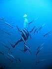 Diver in a School of Barracudas 003.jpg