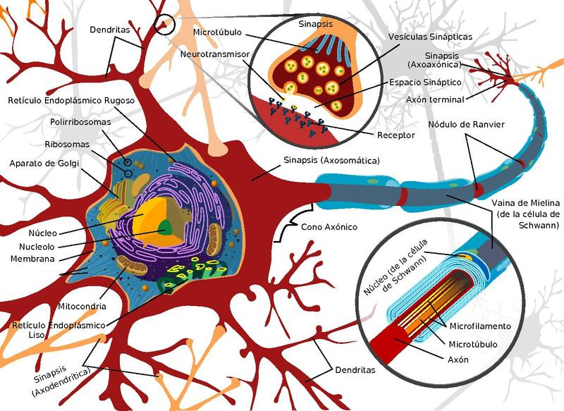 Filecomplete neuron cell diagram es spanishpdf the work of gods filecomplete neuron cell diagram es spanishpdf ccuart