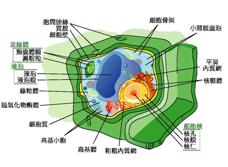 Related Pictures plant cell diagram cell diagram contentuploadsplant ...