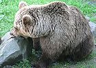 Brown Bear Eating Fish 001.jpg
