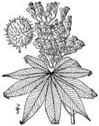Aesculus glabra arguta drawing.png