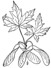 Acer saccharinum drawing.png