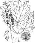 Actaea rubifolia drawing.png